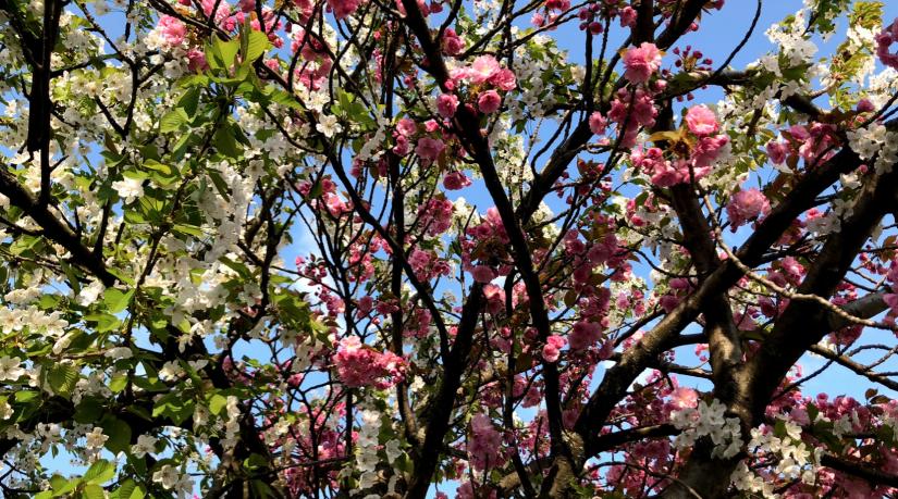 Baum mit schöner Kirschblüte